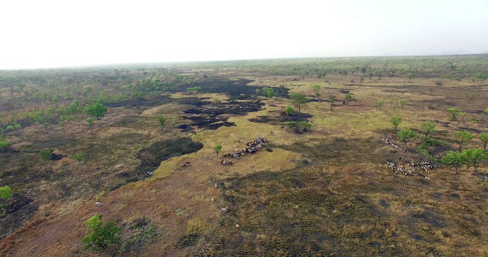 A herd of animals on a big field in bangladesh