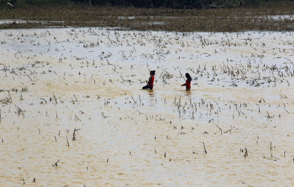 Wading through flooded cornfield